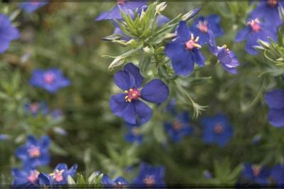 Guichelheil - Anagallis monellii 'Bluebird'