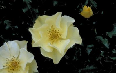 Heesterroos - Rosa 'Berendina'