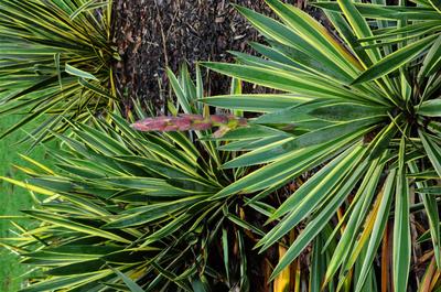 Palmlelie - Yucca glauca