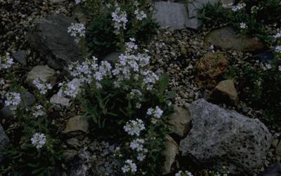 Alpenleverbalsem - Erinus alpinus 'Albus'