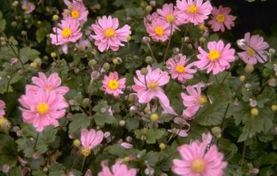 Herfstanemoon - Anemone x hybrida 'Margarete'
