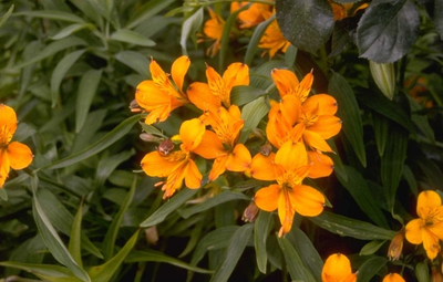 Peruviaanse lelie - Alstroemeria aurea 'Orange King'