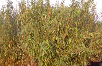 Bamboe - Fargesia murieliae 'Simba'
