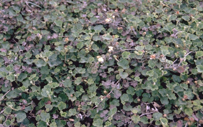 Braam - Rubus pentalobus