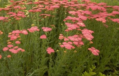 Gewoon duizendblad - Achillea millefolium 'Cerise Queen'