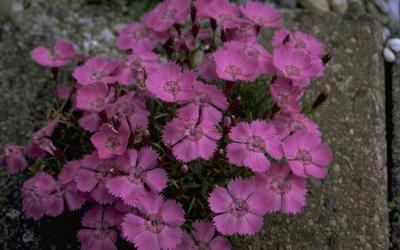 Alpenanjer - Dianthus alpinus