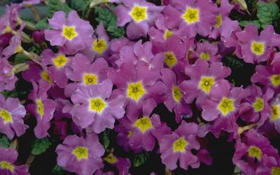 Sleutelbloem - Primula 'Lize Green'