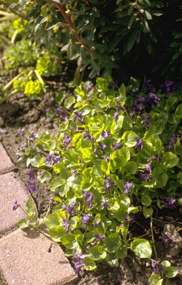 MaartsViooltje - Viola odorata