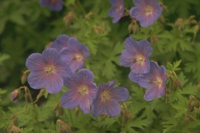 Ooievaarsbek - Geranium 'Johnson's Blue'