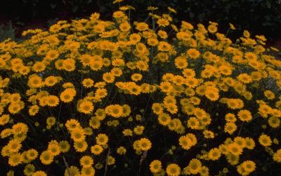 Gele kamille - Anthemis x hybrida