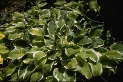 Hartlelie - Hosta 'Shade Fanfare'