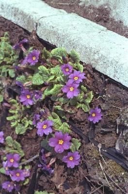 Sleutelbloem - Primula juliae