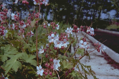 Ooievaarsbek - Geranium macrorrhizum 'Spessart'