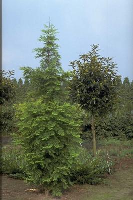 Watercipres - Metasequoia glyptostroboides 'Sheridan Spire'