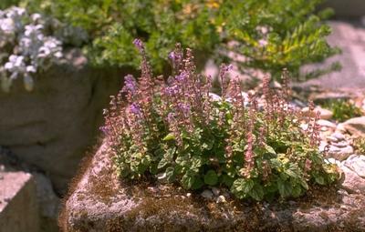 Glidkruid - Scutellaria indica var. parvifolia