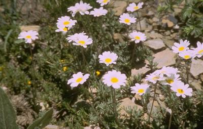 Schubkamille - Anthemis carpatica
