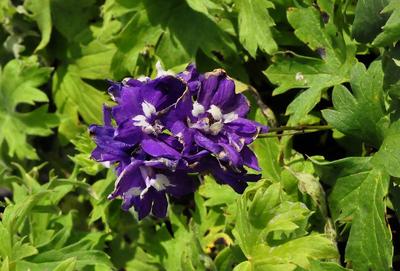 Ridderspoor - Delphinium 'King Arthur'