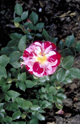 Heesterroos - Rosa 'Candy Cover'