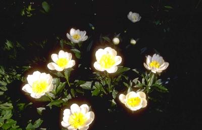 Pioen Paeonia 'Jan van Leeuwen'