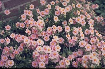 Zonneroosje - Helianthemum 'Lawrenson's Pink'