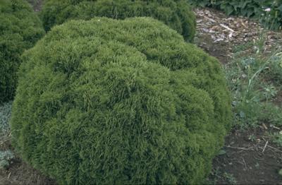 Westerse levensboom - Thuja occidentalis 'Danica'