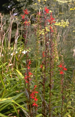 Lobelia - Lobelia x speciosa 'Queen Victoria'