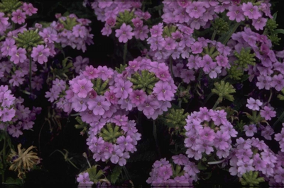 IJzerhard - Verbena 'Adonis Light Blue'