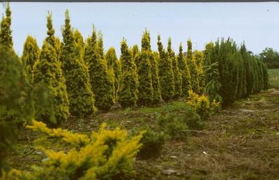 Taxus - Taxus baccata 'Fastigiata Aurea'