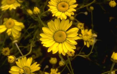 Gele kamille - Anthemis x hybrida 'Wargrave'