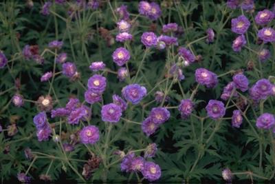 Beemdooievaarsbek - Geranium pratense 'Plenum Violaceum'