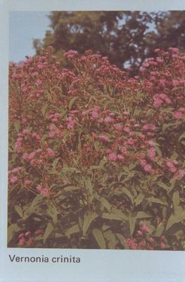 Koninginnenkruid - Eupatorium maculatum