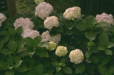 Hortensia - Hydrangea macrophylla 'Soeur Therese'