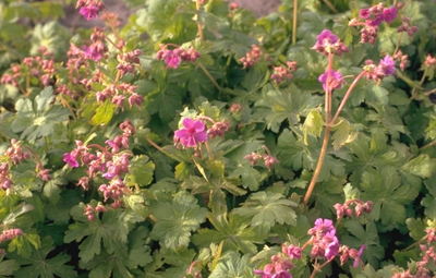 Ooievaarsbek - Geranium macrorrhizum 'Czakor'