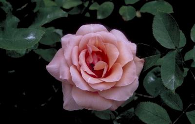 Grootbloemige roos - Rosa 'Blessings'