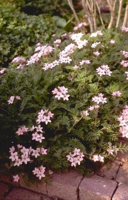 Reigersbek - Erodium absinthoides var. amanum