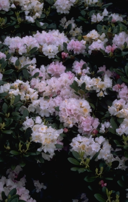 Rododendron - Rhododendron 'Silberwolke'