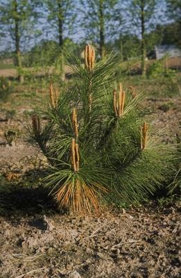 Pinus densiflora 'Kandelaber'