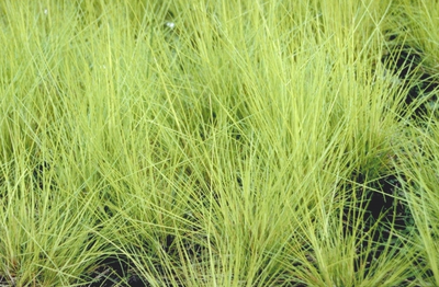 Ruwe smele - Deschampsia flexuosa 'Tatra Gold'