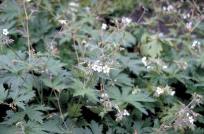 Ooievaarsbek - Geranium albiflorum