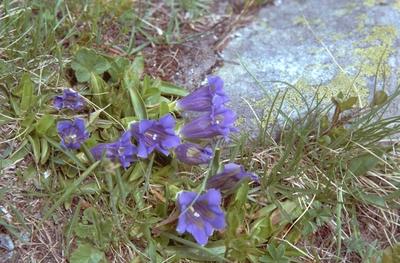 Gentiana angustifolia