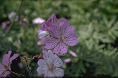 Ooievaarsbek - Geranium tuberosum