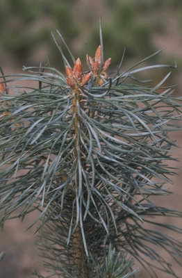 Grove Den - Pinus sylvestris 'Jade'
