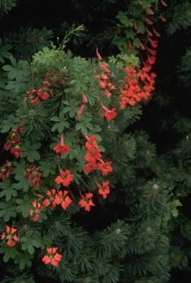 Oostindische kers 'Tropaeolum speciosum'