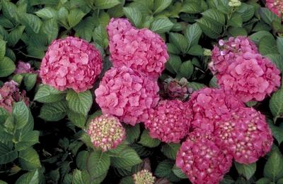 Hortensia - Hydrangea macrophylla 'Glowing Embers'