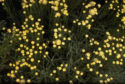 Cipressenkruid - Santolina chamaecyparissus var. nana