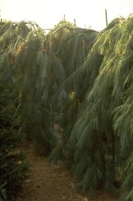 Weymouthden - Pinus strobus 'Pendula'