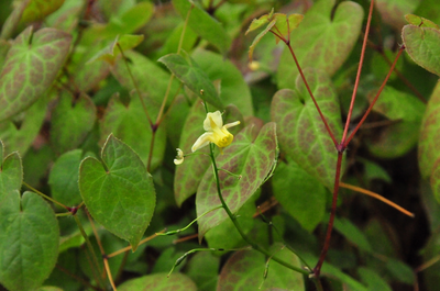 Elfenbloem - Epimedium sulphureum