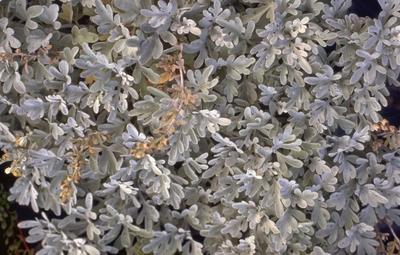 Alsem - Artemisia stelleriana