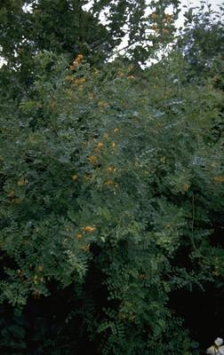 Erwtenstruik - Caragana arborescens 'Walker'