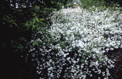 Bruidsbloem - Deutzia x rosea 'Campanulata'